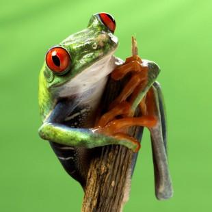 Rot-Augen-Baumfrosch